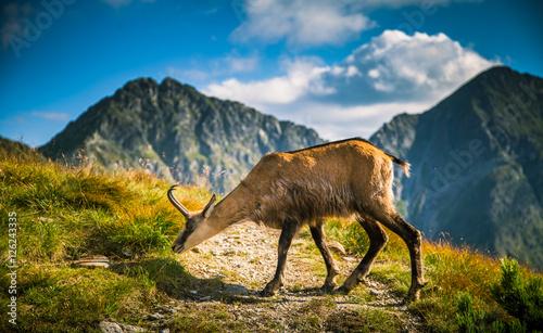 Photo  Beautiful chamois mountain goat in natural habitat