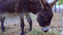 Donkey Eating Hay And Pulls The Face To The Camera.