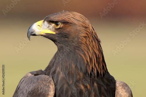 In de dag Eagle The golden eagle (Aquila chrysaetos), portrait