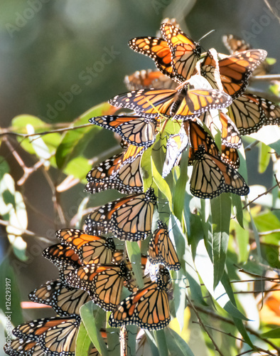 Fototapeta premium Monarch motyle (Danaus plexippus) w Natural Bridges State Beach, Santa Cruz, Kalifornia, USA.