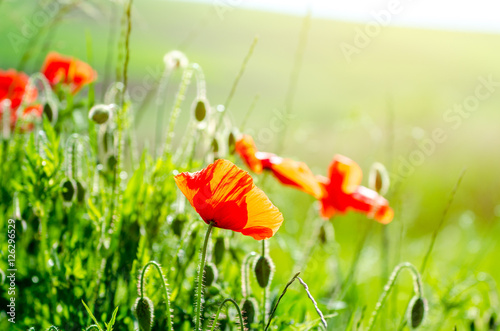 Fotografie, Obraz  Poppy flowers in a close view on a green field with bright warm sunlight on a be