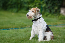 Fox Terrier On A Green Grass Background