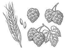 Set Hop Herb Plants With Leaf And Ear Of Wheat. Vector Vintage Engraved Illustration.