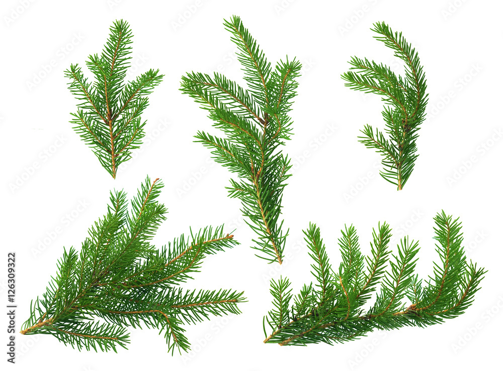 Fotografie, Obraz Several green fir branches of different forms on a white background