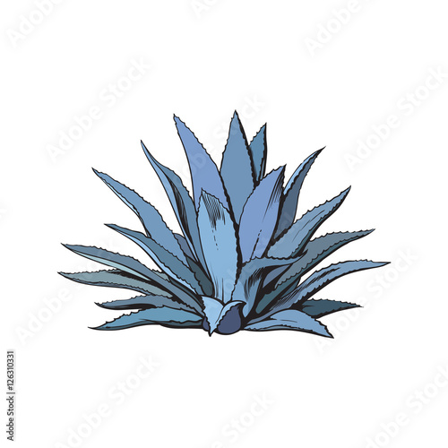 Photo Hand drawn blue agave, main tequila ingredient, sketch style vector illustration isolated on white background