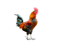 Colored Rooster Orange, Green,white. Insulated