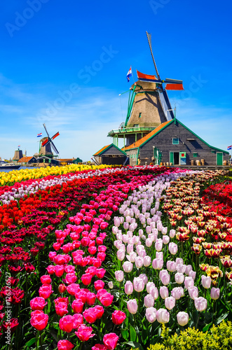 Valokuva  Landscape with tulips in Zaanse Schans, Netherlands, Europe