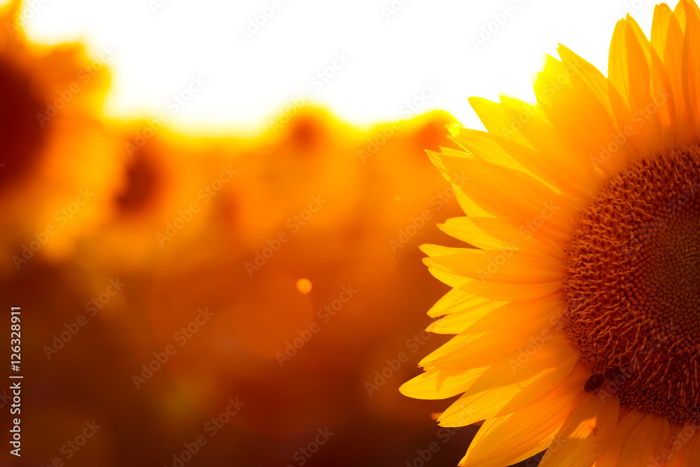 sunflower at the evening field