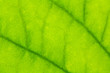 Leaf texture or leaf background. Leaf motifs that occurs natural. Abstract green leaf pattern for design with copy space for text or image.