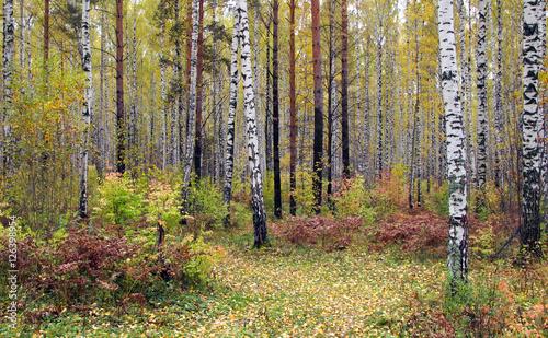 Foto op Plexiglas Berkbosje autumn forest