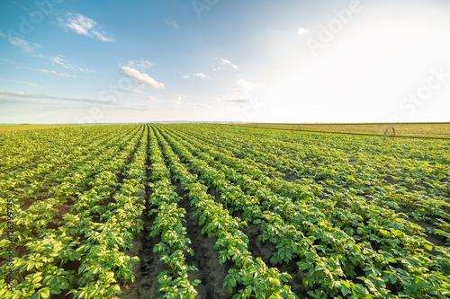 Green field of potato crops in a row Fototapeta