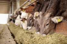 Cows In A Farm Eating Hay