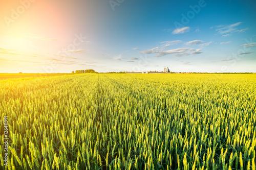 Plakat Zielone pole kiełkowania pszenicy