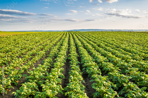 Fotografia  Green field of potato crops in a row
