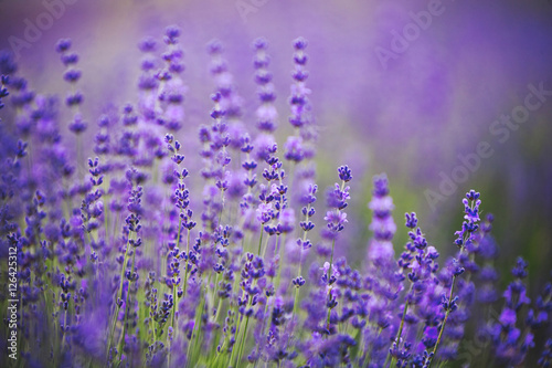 Lavender lilac flowers - floral background #126425312