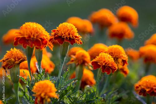 Fotomural  Marigold