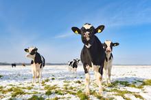 Rinder Auf Einer Verschneiten Weide Im Herbst