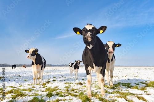 Photo Stands Cow Rinder auf einer verschneiten Weide im Herbst