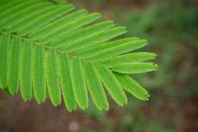 Acacia Pennata Leaf Closeup