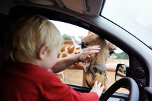 Father And Toddler Child Watching And Feeding Giraffe Animals At The Safari Park