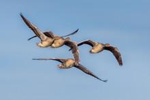 Migrating Greylag Geese