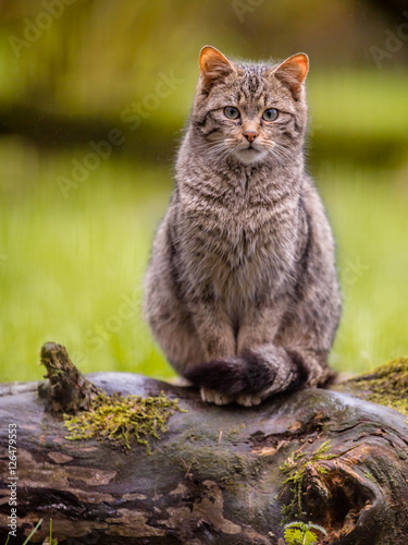 Photo  Cute European wild cat with distictive tail
