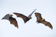 Flying Bats On Blue Sky