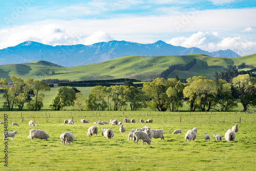 Poster de jardin Sheep Landscape of NewZealand