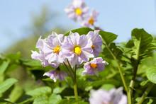 Potato Flower, Close-up