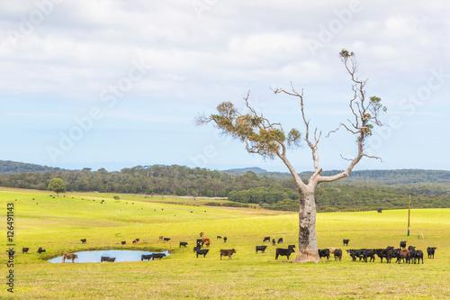 Printed kitchen splashbacks Australia Australian Cattle Farm