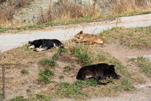 Photo  Three homeless mongrel sleeping at wasteland.