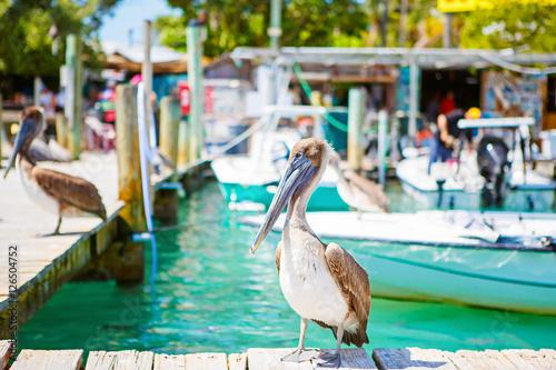 Valokuvatapetti Big brown pelicans in Islamorada, Florida Keys