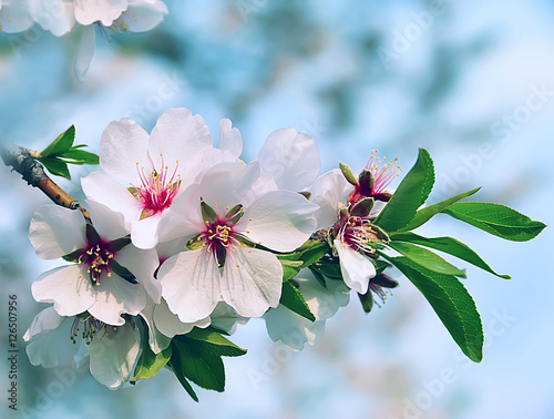 Almond branch with flowers Canvas-taulu