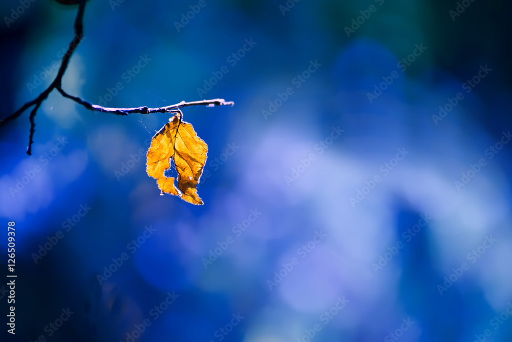 Fototapeta lone dry yellow leaf on a branch on a beautiful art background. Autumn photo on a warm day.