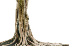 Roots Of A Tree Isolated On Wh...