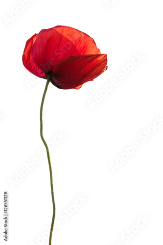 Fotobehang Poppy Single red poppy as memory symbol isolated on white background