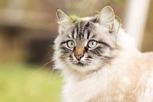 Beautiful Autumn Portrait Of A Siamese Cat
