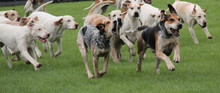 A Pack Of Hunting Hounds Chasi...
