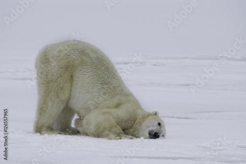 Staande foto Ijsbeer Polar bear with head on snow