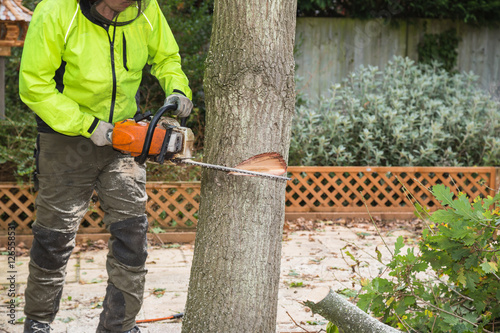 A arborist, tree surgeon with a chain saw cuts into a tree in preparation for felling. The lumberjack is wearing a hi-viz jacket.
