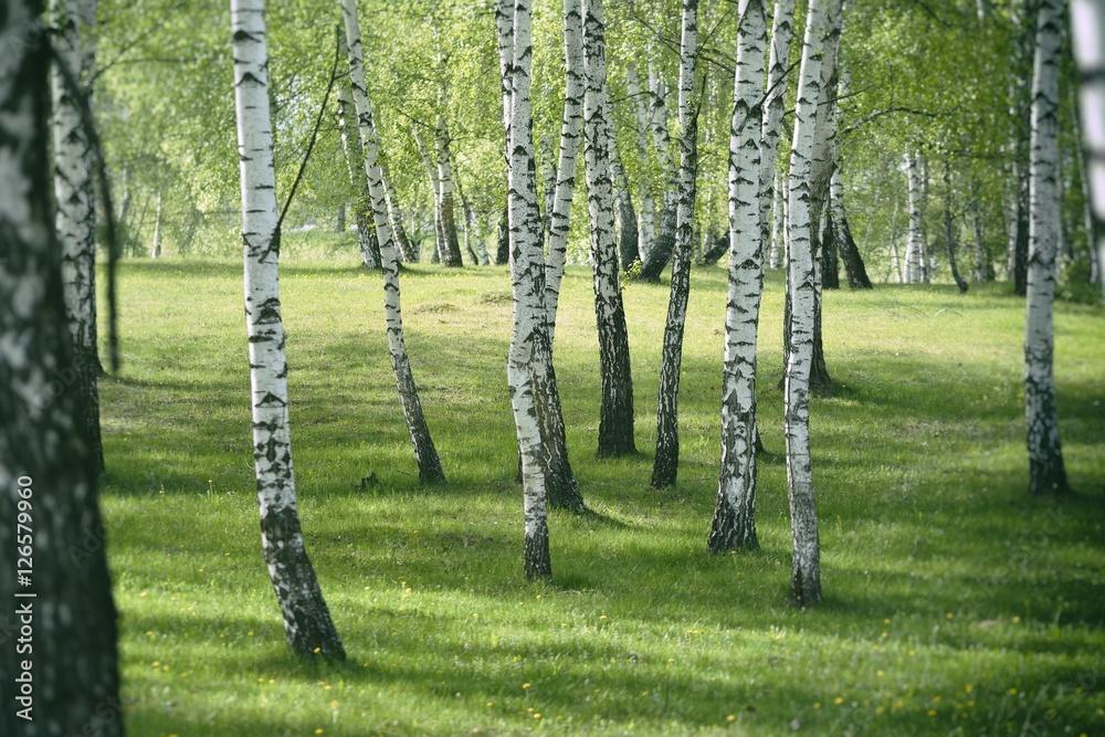 Birch forest. Birch Grove. White birch trunks.