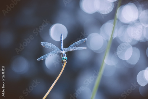 Poster Marron chocolat Dragonfly sitting on a plant stem bokeh