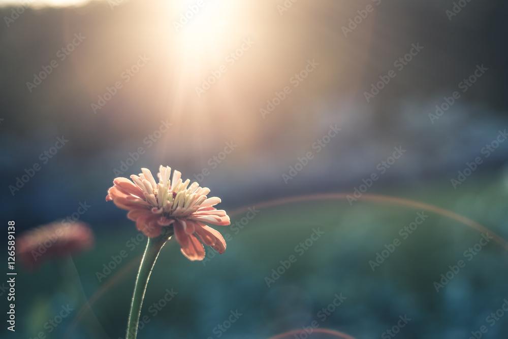 Fototapeta Lone flower in sunlight