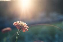 Lone Flower In Sunlight