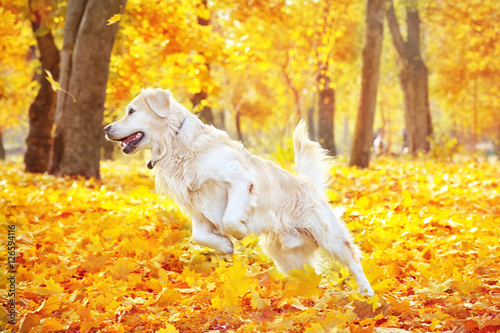 Fotografie, Obraz  Funny labrador retriever in beautiful autumn park on sunny day