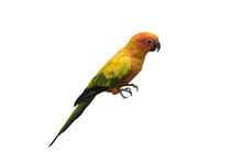 Beautiful Parrot, Sun Conure ,...
