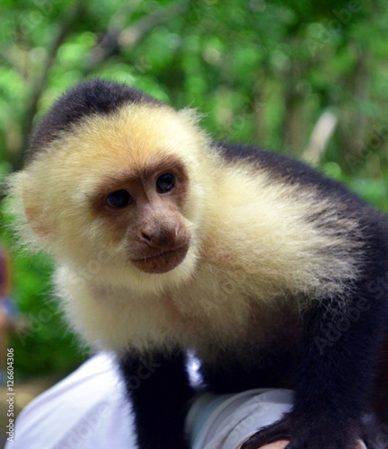 Valokuva  Capuchin/Close up of White Faced Capuchin monkey