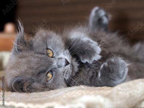 Cute gray fluffy kitten with yellow eyes Tapéta, Fotótapéta