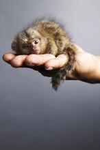 Pygmy Marmoset On Palm