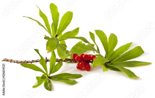 Photo Daphne mezereum. Venomous plant on white background